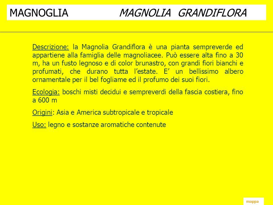 MAGNOGLIA MAGNOLIA GRANDIFLORA
