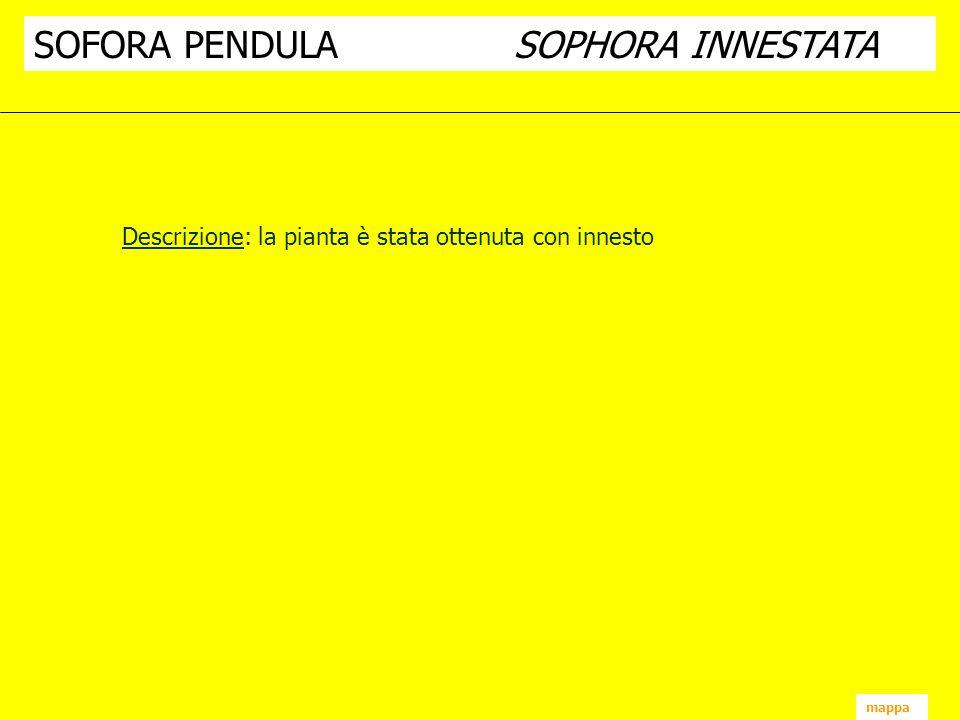 SOFORA PENDULA SOPHORA INNESTATA