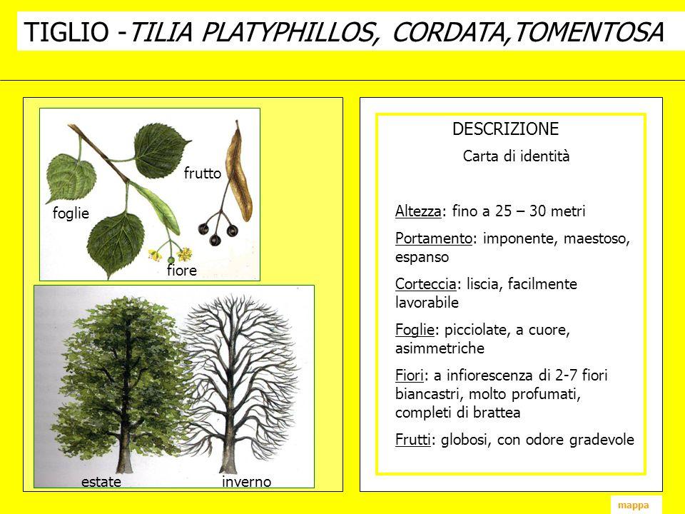 TIGLIO -TILIA PLATYPHILLOS, CORDATA,TOMENTOSA