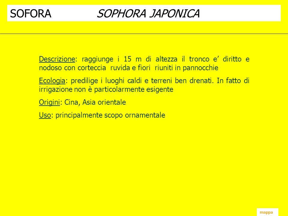 SOFORA SOPHORA JAPONICA
