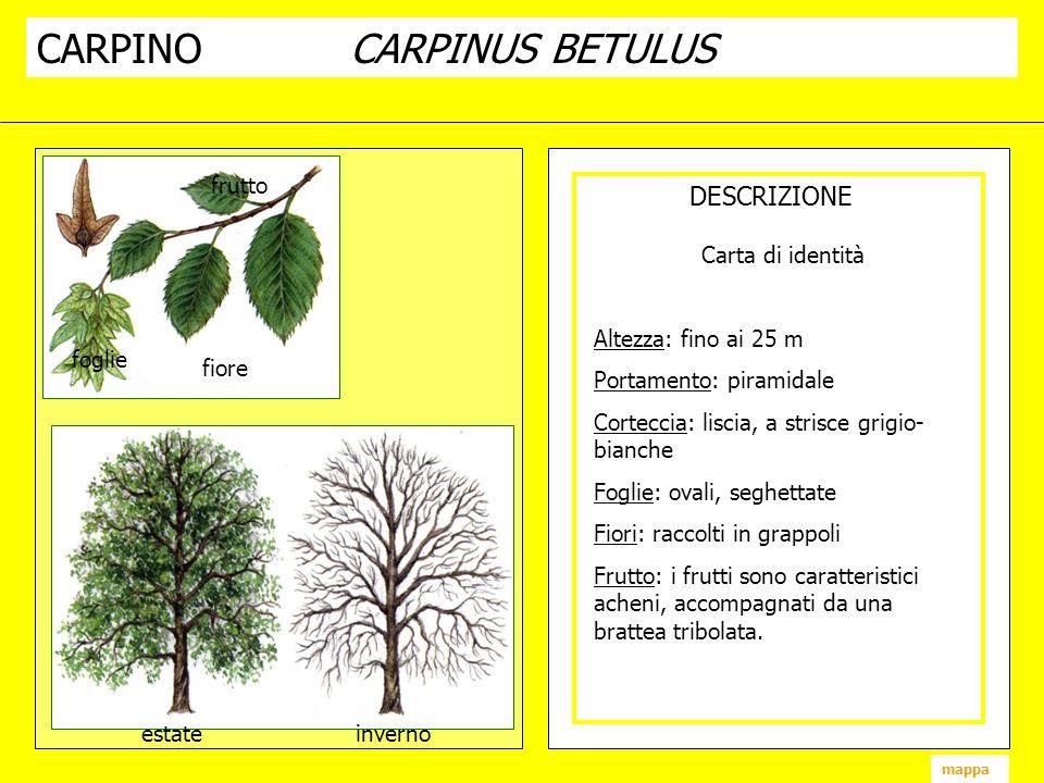 CARPINO CARPINUS BETULUS