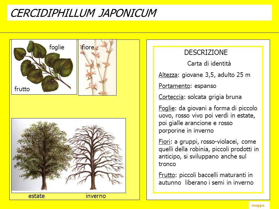 CERCIDIPHILLUM JAPONICUM