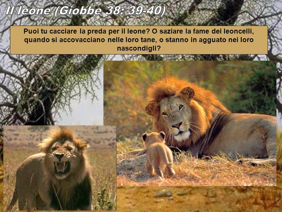 Il leone (Giobbe 38: 39-40)