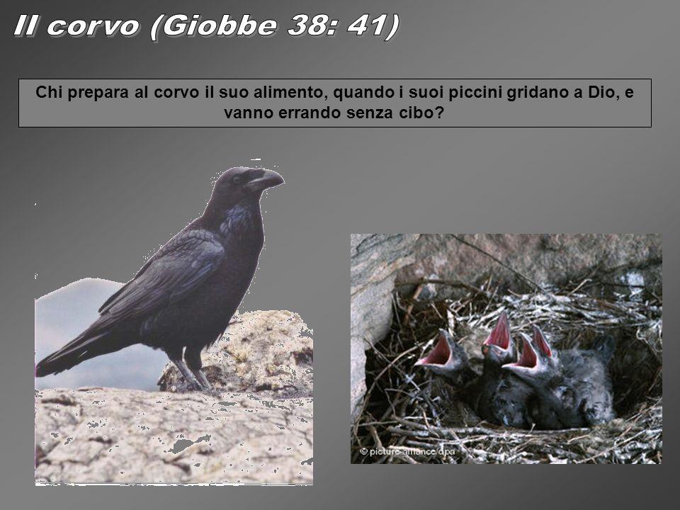 II corvo (Giobbe 38: 41) Chi prepara al corvo il suo alimento, quando i suoi piccini gridano a Dio, e vanno errando senza cibo