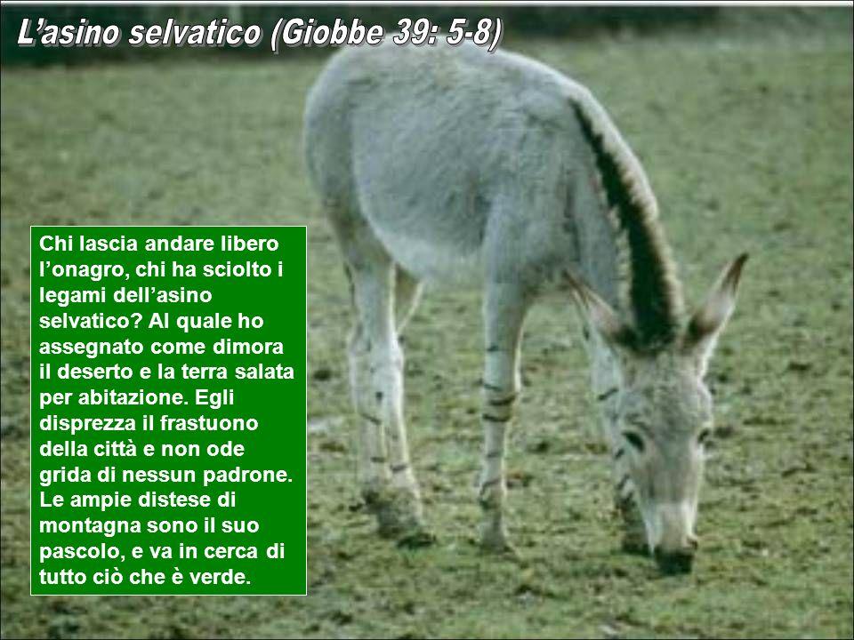 L'asino selvatico (Giobbe 39: 5-8)