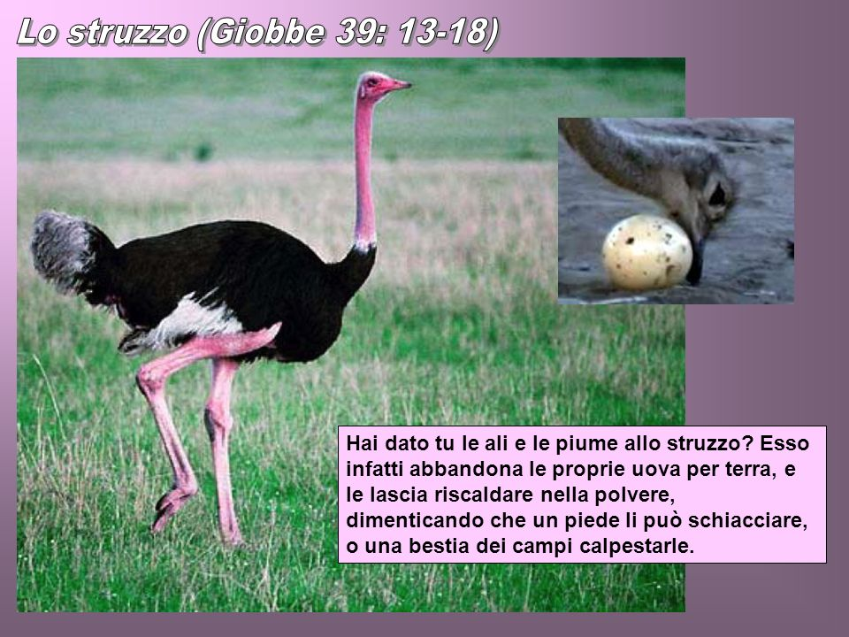 Lo struzzo (Giobbe 39: 13-18)