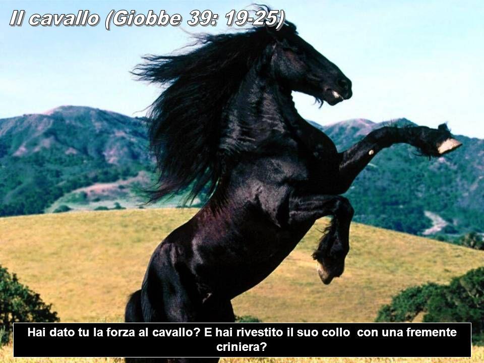 Il cavallo (Giobbe 39: 19-25) Hai dato tu la forza al cavallo.