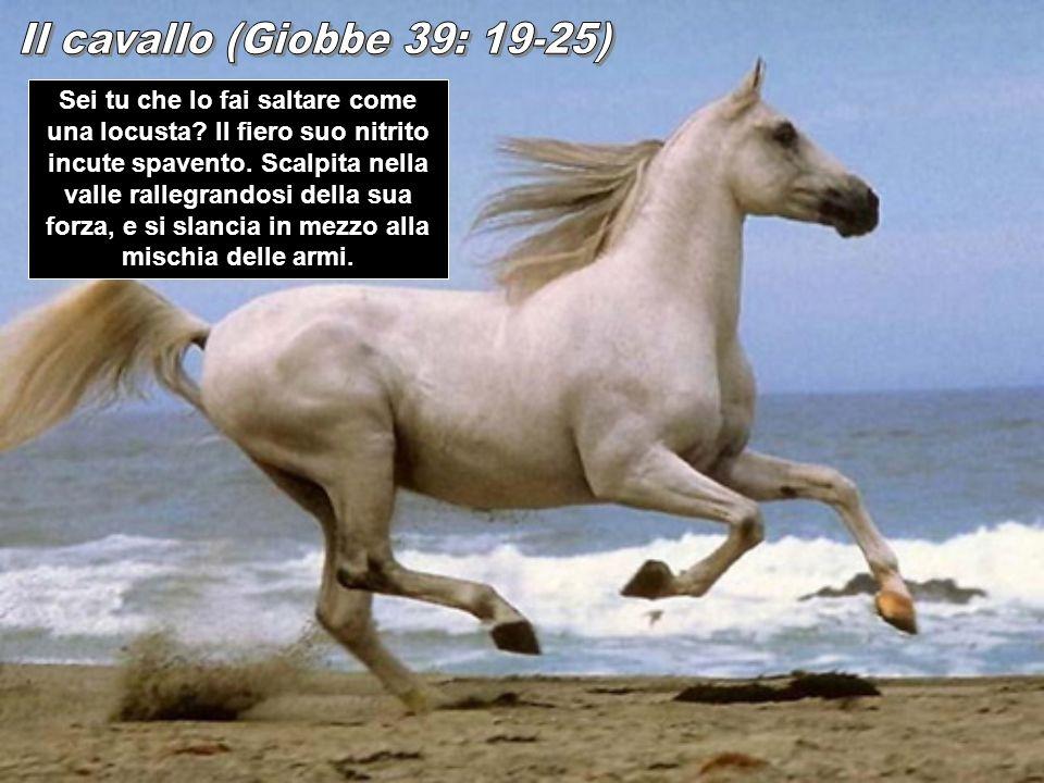 Il cavallo (Giobbe 39: 19-25)