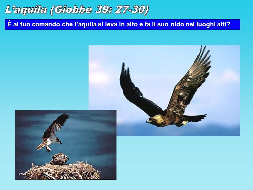 L'aquila (Giobbe 39: 27-30) É al tuo comando che l'aquila si leva in alto e fa il suo nido nei luoghi alti