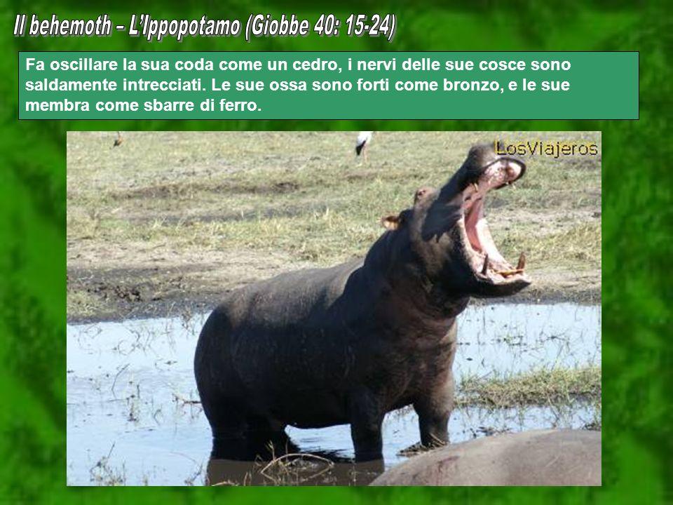 Il behemoth – L'Ippopotamo (Giobbe 40: 15-24)