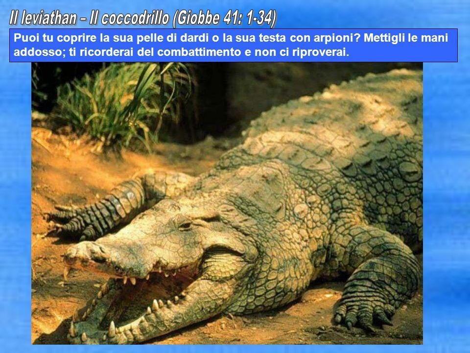 Il leviathan – Il coccodrillo (Giobbe 41: 1-34)