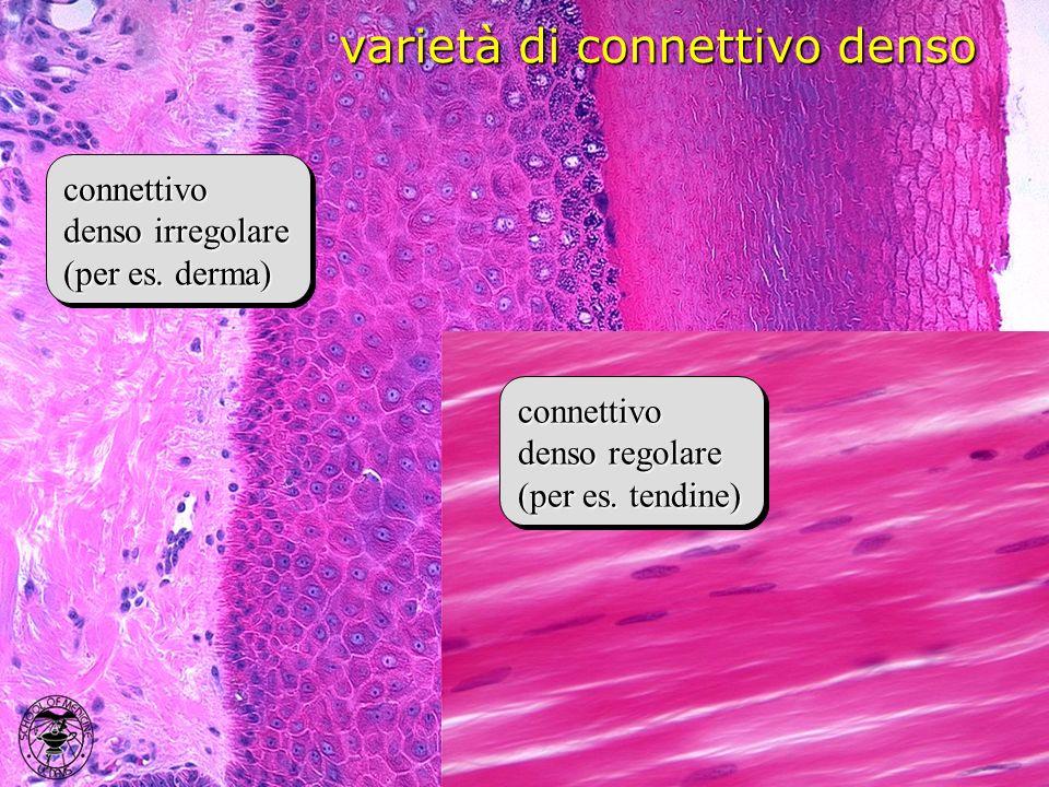 varietà di connettivo denso
