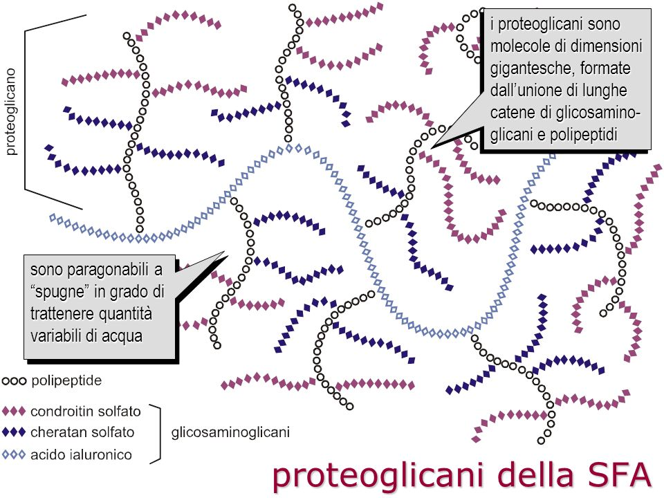 proteoglicani della SFA