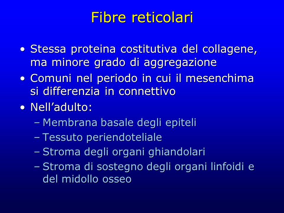 Fibre reticolari Stessa proteina costitutiva del collagene, ma minore grado di aggregazione.
