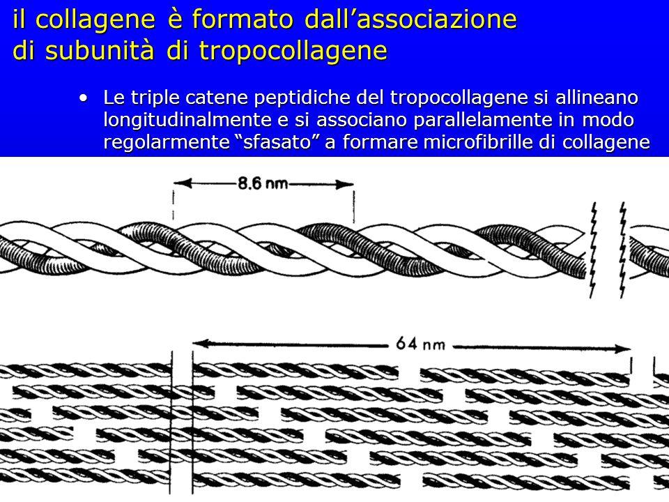 il collagene è formato dall'associazione di subunità di tropocollagene