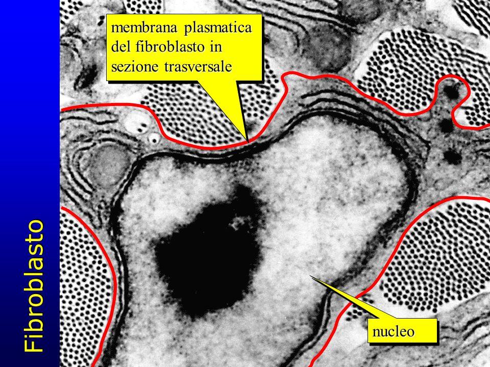 Fibroblasto membrana plasmatica del fibroblasto in sezione trasversale