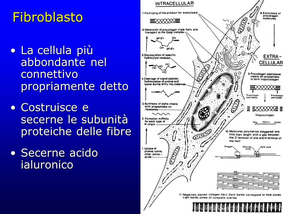Fibroblasto La cellula più abbondante nel connettivo propriamente detto. Costruisce e secerne le subunità proteiche delle fibre.