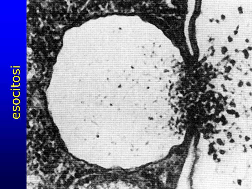 esocitosi