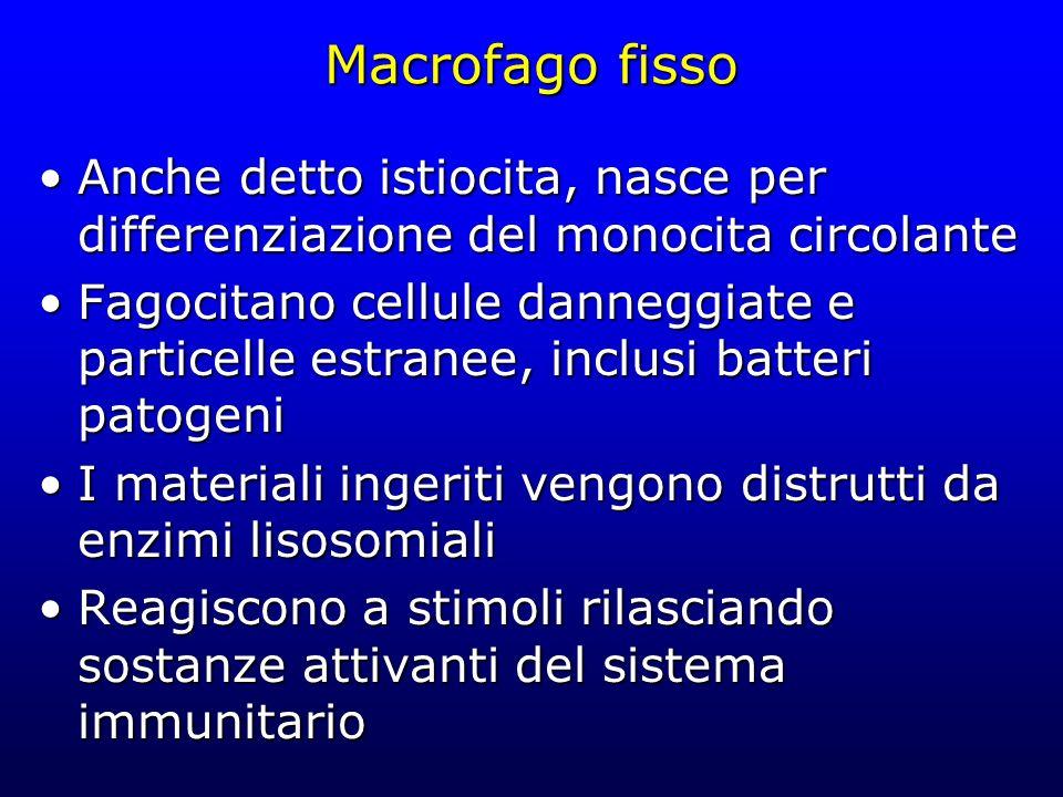 Macrofago fisso Anche detto istiocita, nasce per differenziazione del monocita circolante.