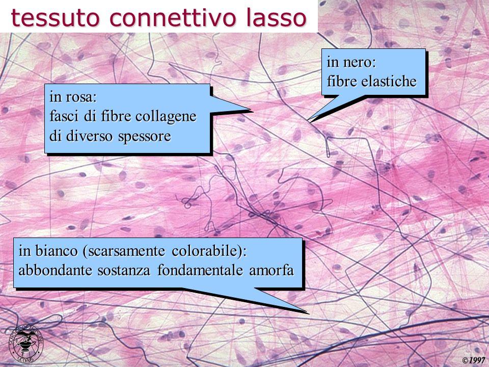 tessuto connettivo lasso