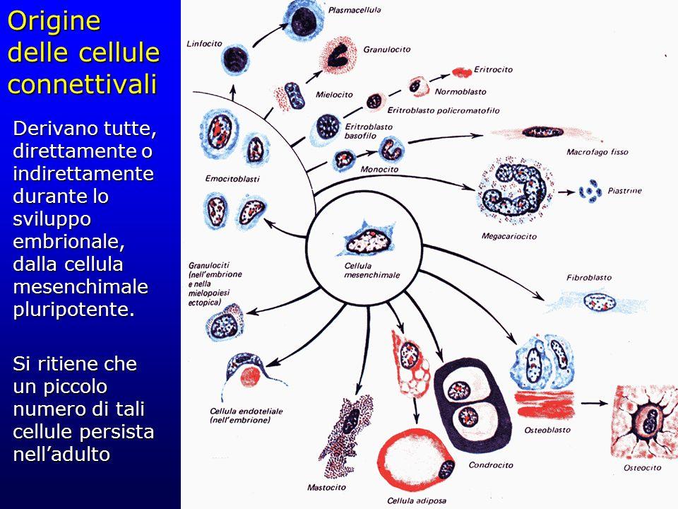 Origine delle cellule connettivali