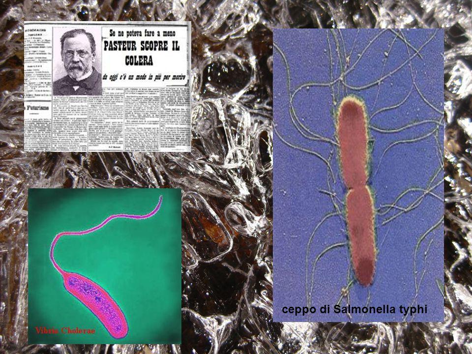 ceppo di Salmonella typhi