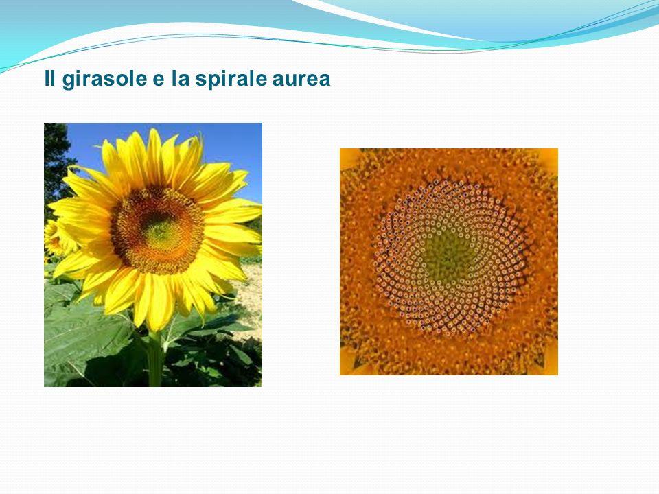 Il girasole e la spirale aurea