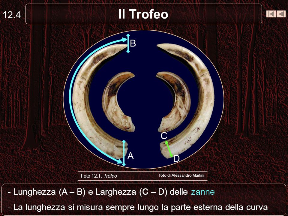 12.4 Il Trofeo. B. C. Capriolo. A. D. Foto 12.1: Trofeo. foto di Alessandro Martini. - Lunghezza (A – B) e Larghezza (C – D) delle zanne.