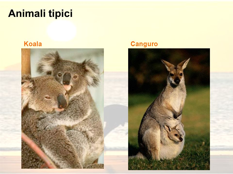 Animali tipici Koala Canguro