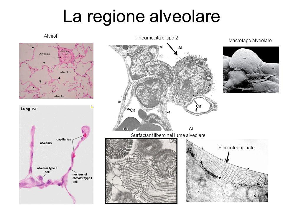 La regione alveolare Alveoli Pneumocita di tipo 2 Macrofago alveolare