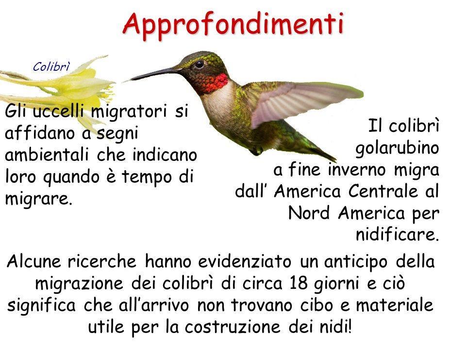 Approfondimenti Colibrì. Gli uccelli migratori si affidano a segni ambientali che indicano loro quando è tempo di migrare.