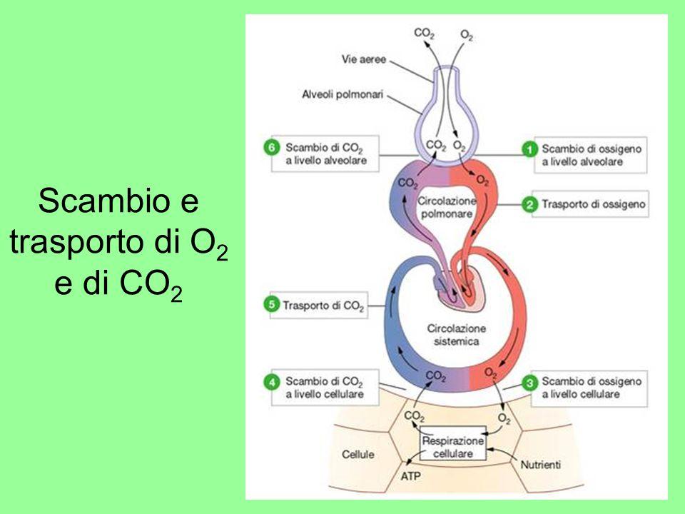 Scambio e trasporto di O2 e di CO2