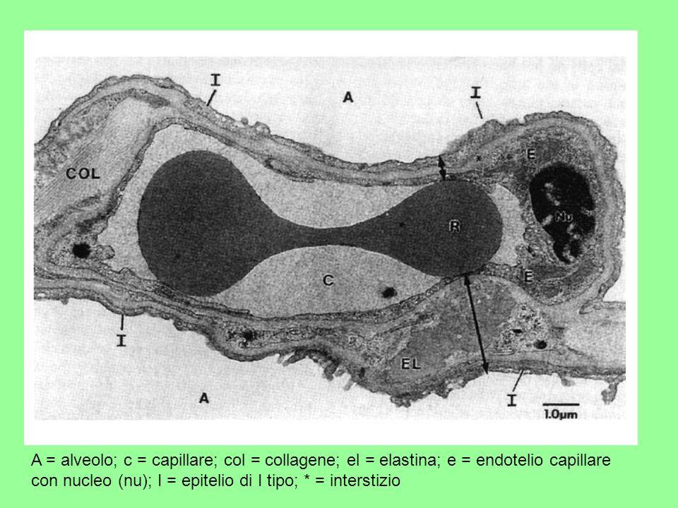 A = alveolo; c = capillare; col = collagene; el = elastina; e = endotelio capillare con nucleo (nu); I = epitelio di I tipo; * = interstizio