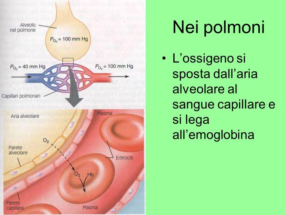 Nei polmoni L'ossigeno si sposta dall'aria alveolare al sangue capillare e si lega all'emoglobina