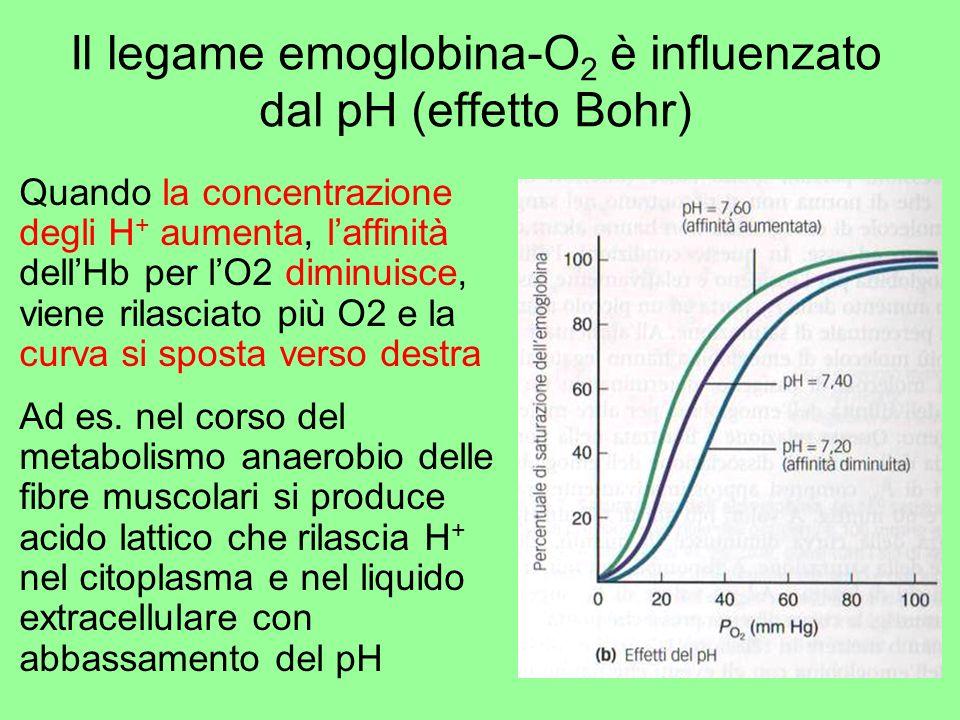 Il legame emoglobina-O2 è influenzato dal pH (effetto Bohr)