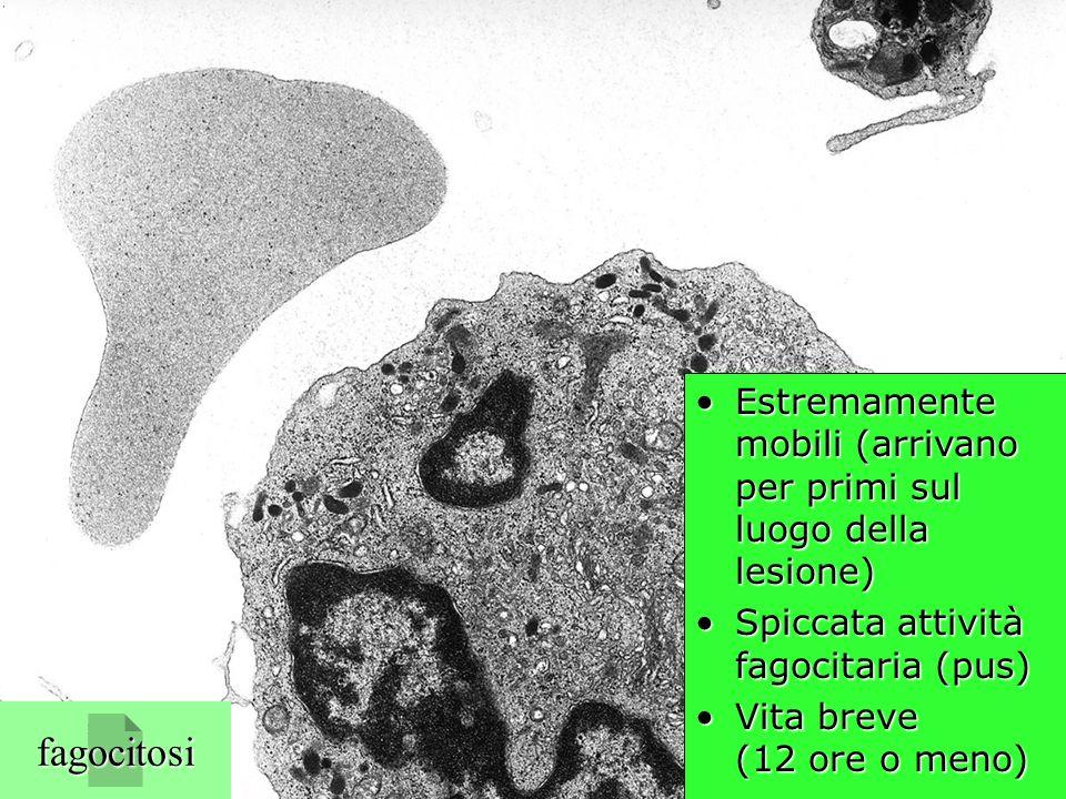 neutrofilo (TEM) fagocitosi