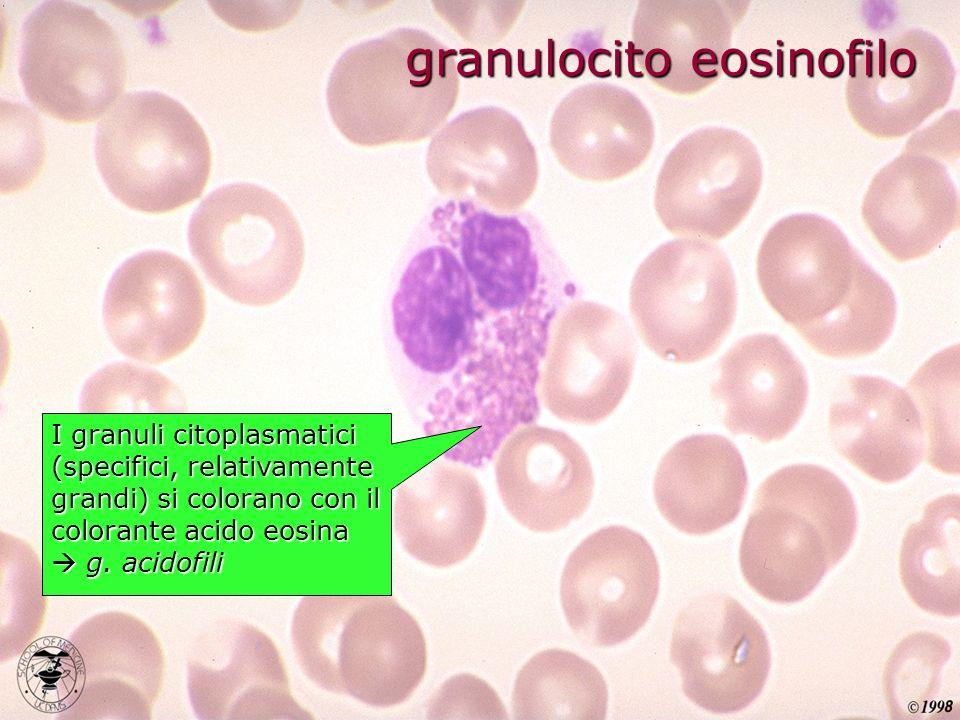 granulocito eosinofilo