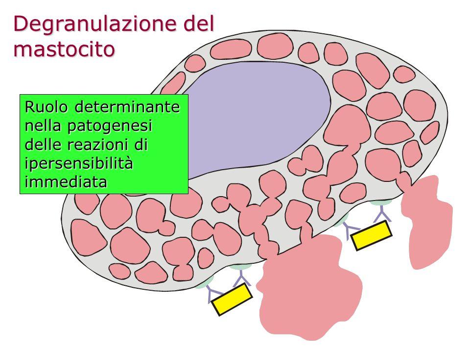 Degranulazione del mastocito