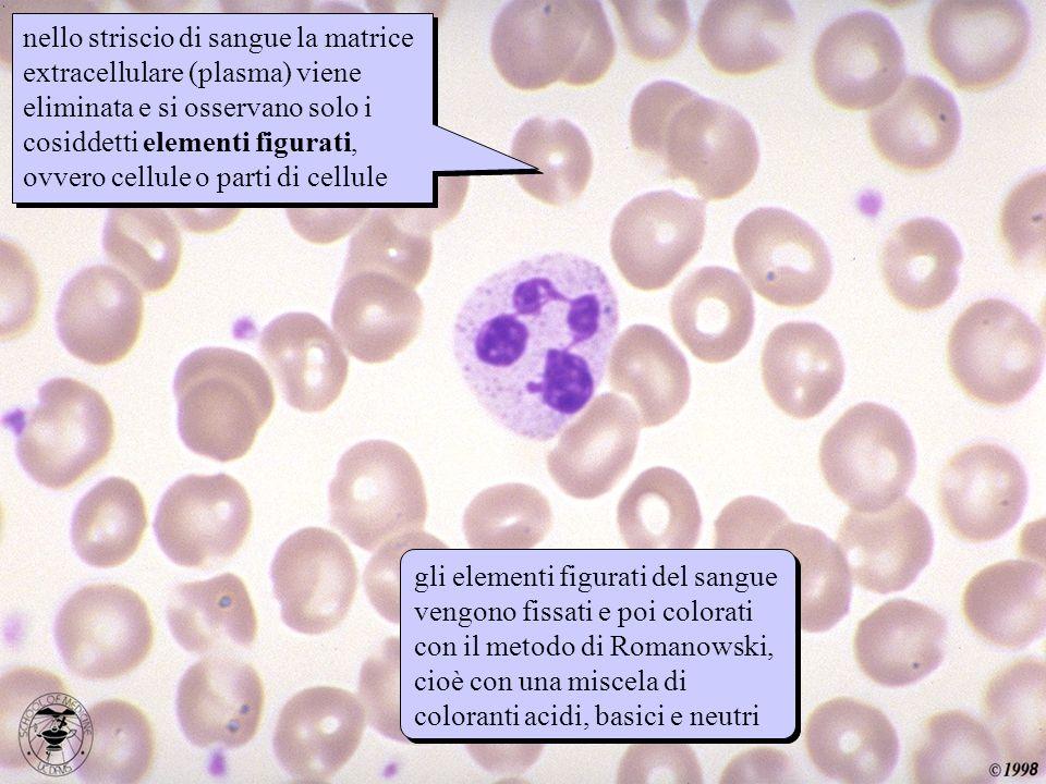 nello striscio di sangue la matrice extracellulare (plasma) viene eliminata e si osservano solo i cosiddetti elementi figurati, ovvero cellule o parti di cellule