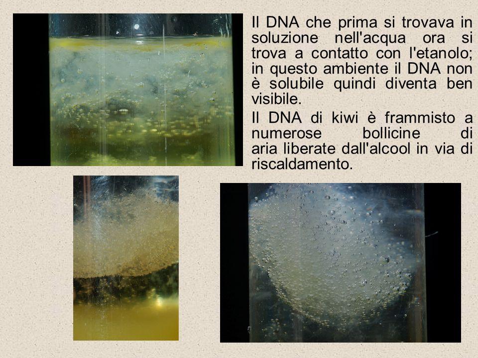 Il DNA che prima si trovava in soluzione nell acqua ora si trova a contatto con l etanolo; in questo ambiente il DNA non è solubile quindi diventa ben visibile.