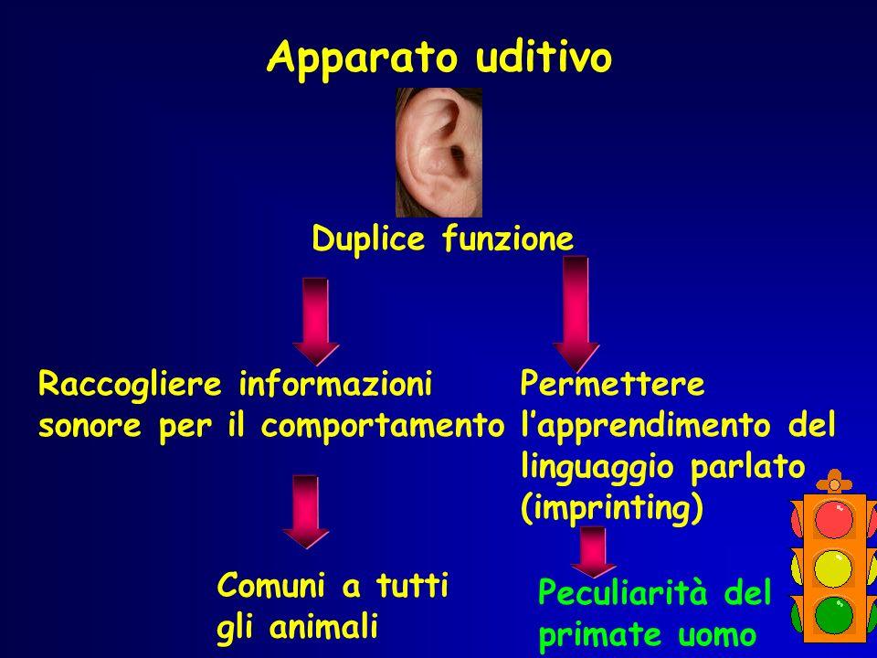 Apparato uditivo Duplice funzione Raccogliere informazioni