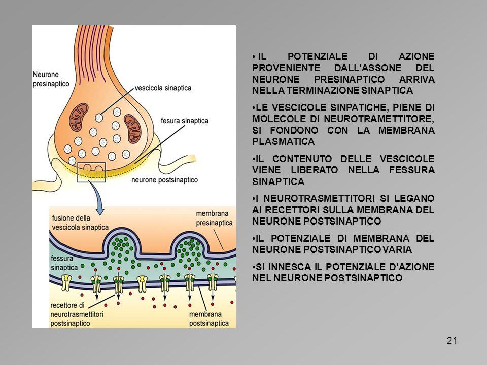IL POTENZIALE DI AZIONE PROVENIENTE DALL'ASSONE DEL NEURONE PRESINAPTICO ARRIVA NELLA TERMINAZIONE SINAPTICA