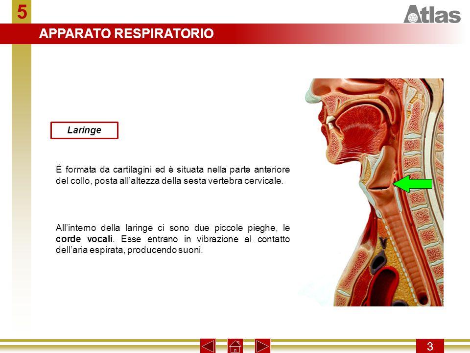 5 APPARATO RESPIRATORIO 3 Laringe
