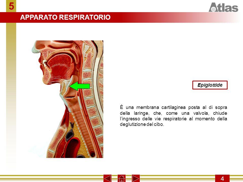 5 APPARATO RESPIRATORIO 4 Epiglottide