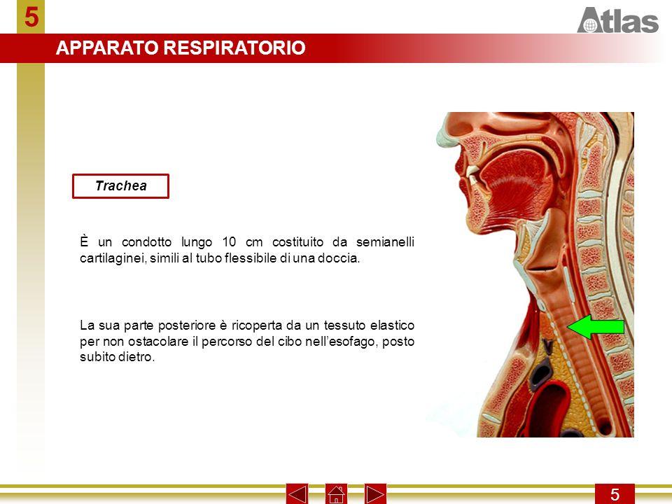 5 APPARATO RESPIRATORIO 5 Trachea