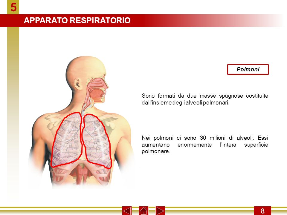 5 APPARATO RESPIRATORIO 8 Polmoni
