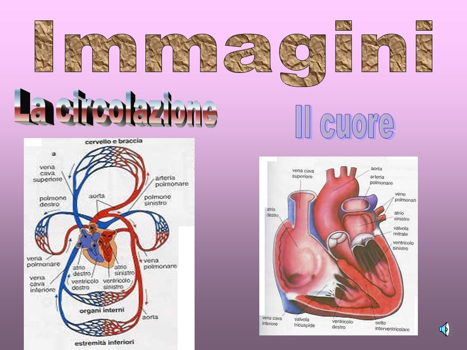 Immagini La circolazione Il cuore