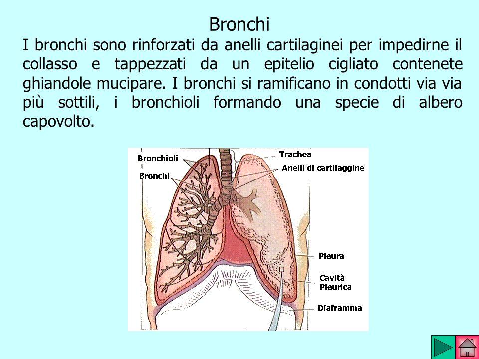 Bronchi