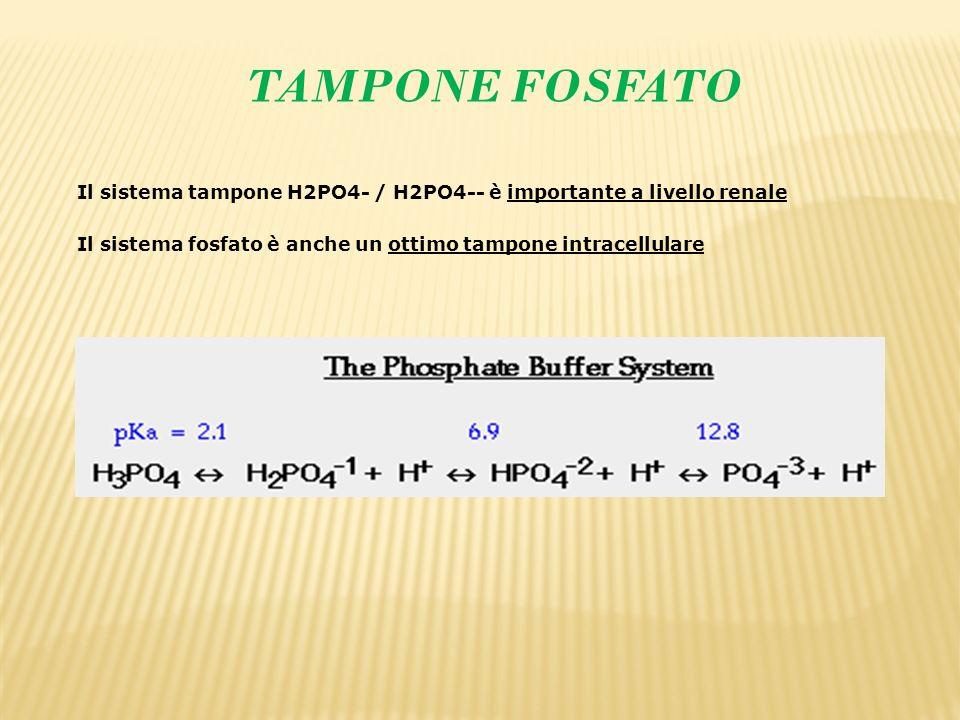 TAMPONE FOSFATO Il sistema tampone H2PO4- / H2PO4-- è importante a livello renale.