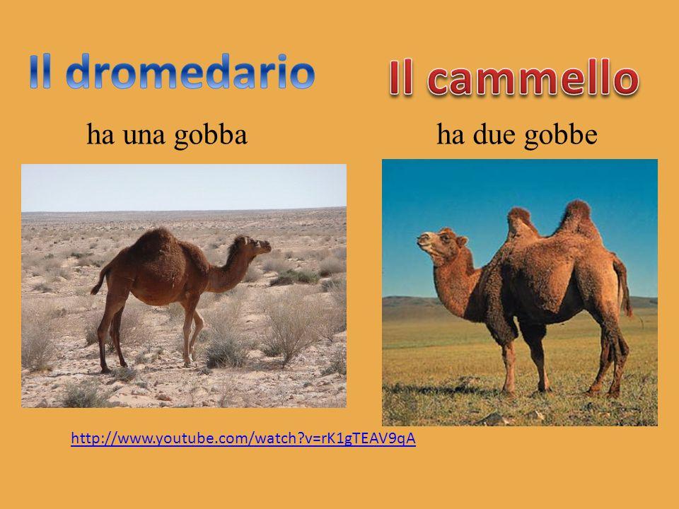 Il dromedario Il cammello